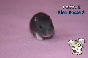 Bleue Russe mâle 1 14j