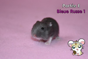 Bleue russe femelle 1 14j