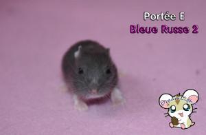 Bleue russe femelle 2 14j