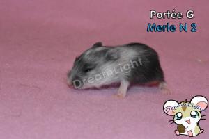G - MERLE 2 11J (1)