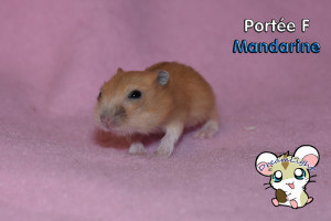 MANDARINE F 11j